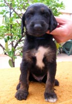 macho negro atigrado / black brindle male
