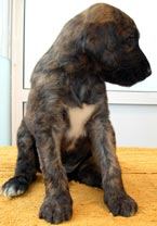 macho atigrado 1 / brindle male 1